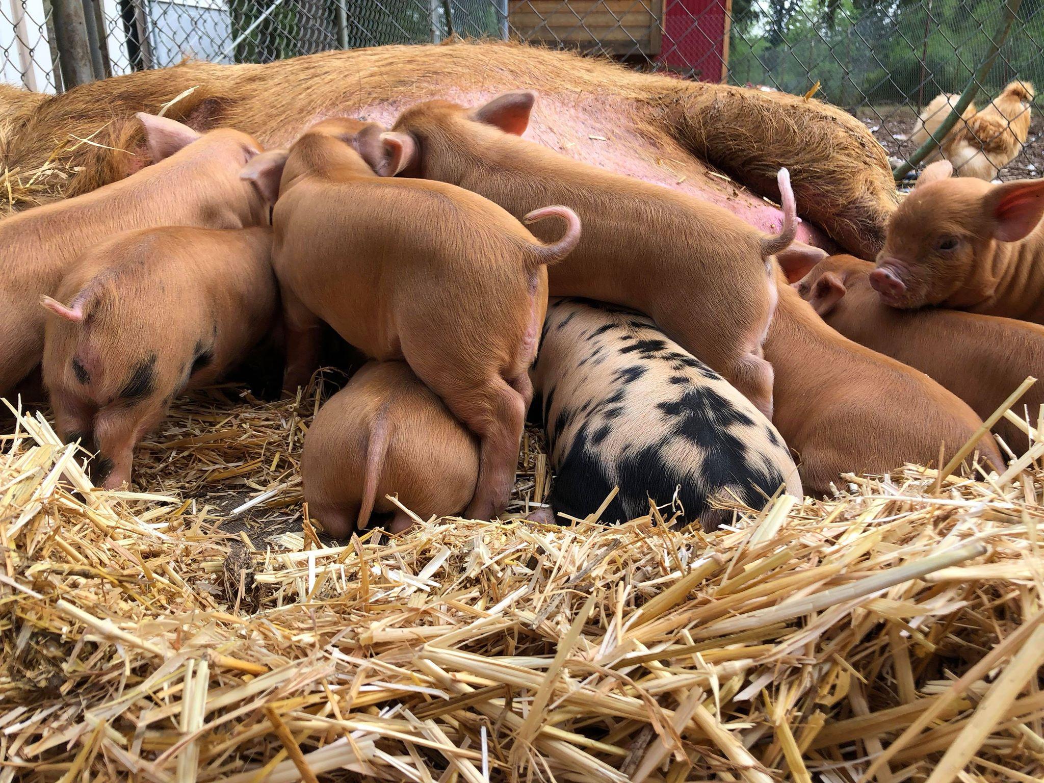BSF Piggies