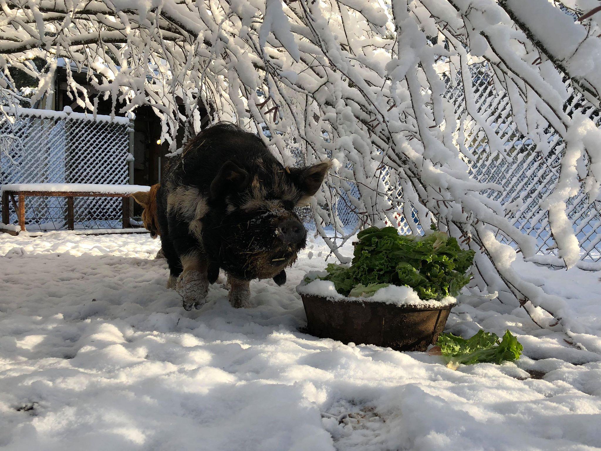 BSF snow pig