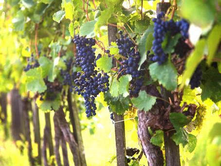 Miért válaszd idén az ENTEC® műtrágyát a szőlőben?
