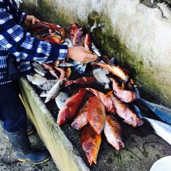 Peixe capturado