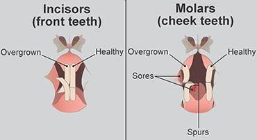 rabbit-teeth-illustration-min.jpg