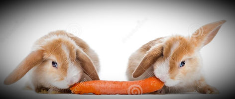 rabbits-eating-carrot-two-39254184_edite