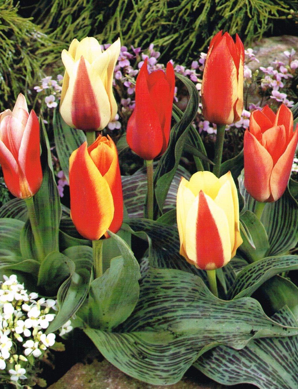 Dwarf rockery tulips