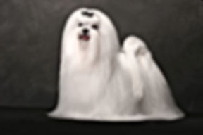 maltese-show-dog-wallpaper-full-screen-h