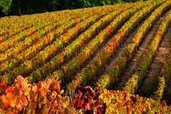 Dans les vignobles