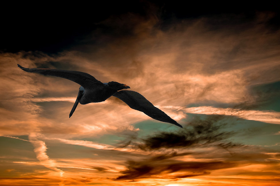 sunset-pelican-34311.jpg