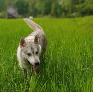 koira_husky_leo_valkoinen_kukka