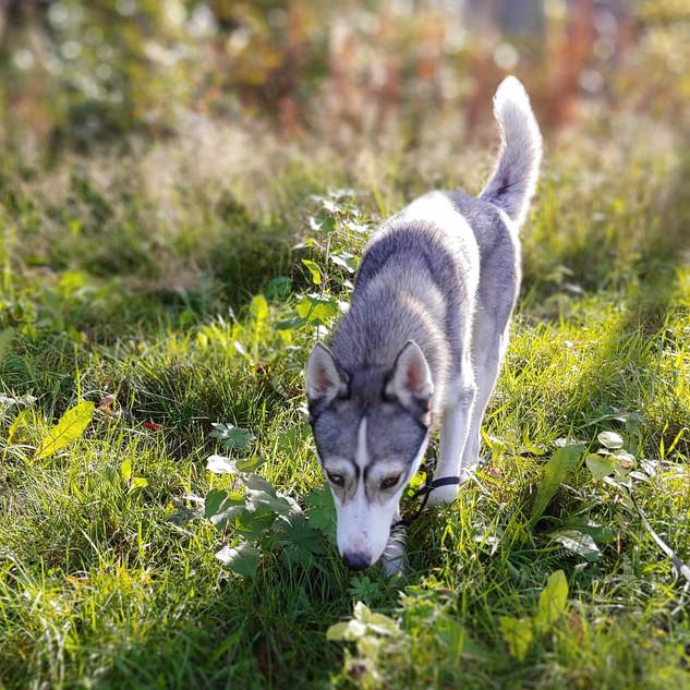 koira_husky_demi_valkoinen_kukka