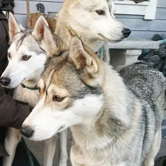 koira_husky_demi_lumo_leo-valkoinen_kukk