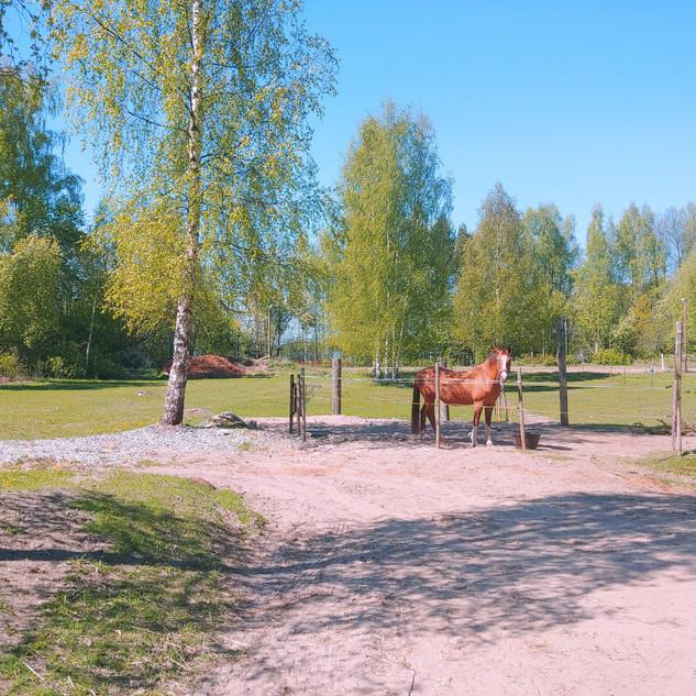 hevonen_dolli_tallipiha_kesä_valkoinen_