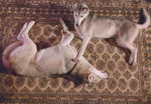 koira_husky_demi_lumo_leo_valkoinen_kukk