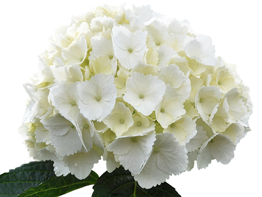 blossoms unlimited inc flowers wholesale delray beach fl white premium hydrangea - White Hydrangea