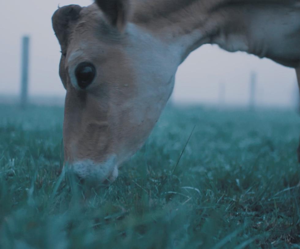 "Vache Jesrsiaise ""La Ferme de la Trembla"