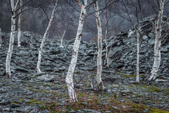 Aspens, Winter, Hodge Close Quarry, Holm