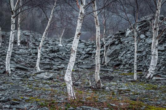 Aspens, Winter, Hodge Close Quarry, Holm