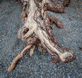 18636e-c Tree, Roots, Derwent, Water,  C