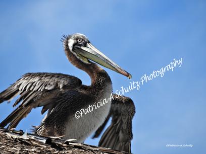 Pelican Drying in the Sun
