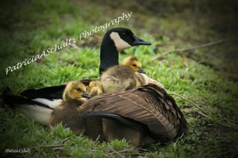 Mother Goose & her Goslings