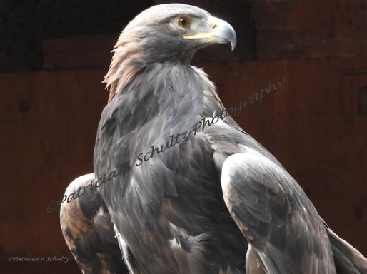 Majestic Golden Eagle