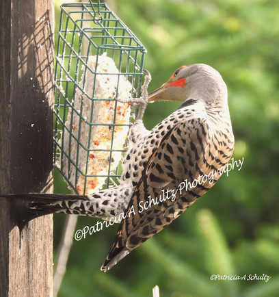 Northern Flicker's Lunch Time