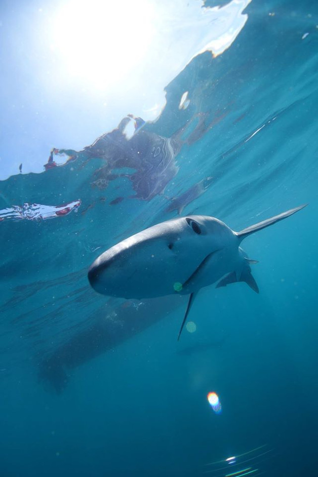 Blue Sharks in Cronwall