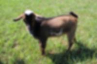 GoatKids 008.JPG