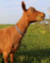 Goatphotosweb 012.JPG