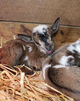 GoatsKidding2018 006.JPG