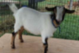 GoatKids 004.JPG