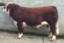 dendor bakgard herefords keno