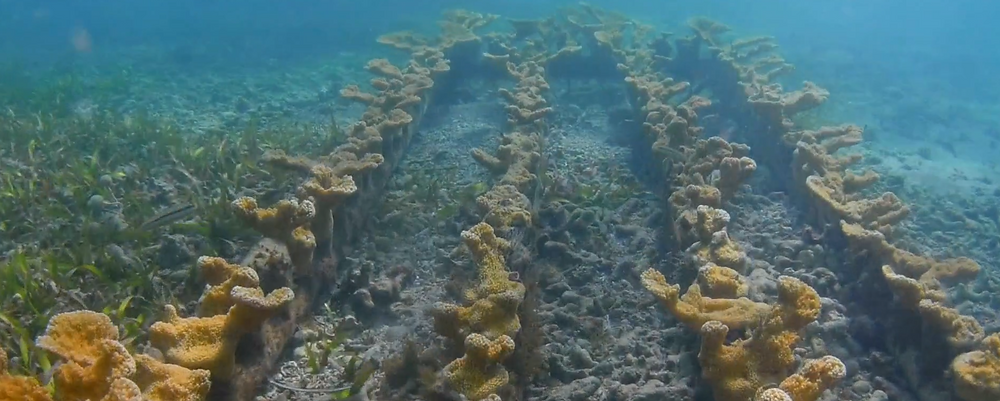 A coral nursery of elkhorn corals in Guayanilla, maintained by HJR Reefscaping