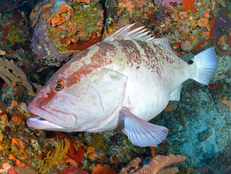Isla Mar leads new project to strengthen recovery of Nassau grouper