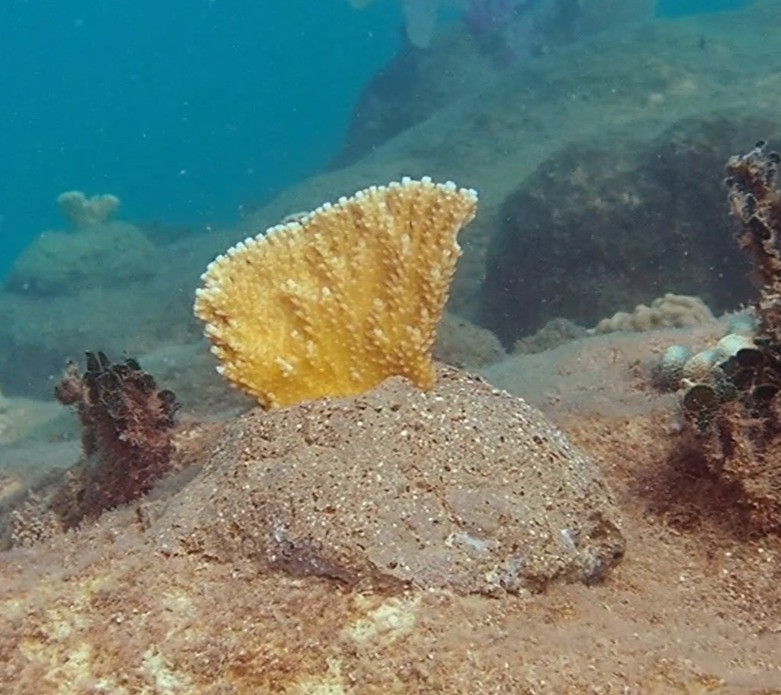 a coral fragment is planted to the reef