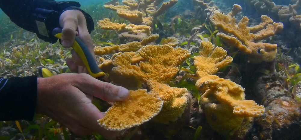 HJR Reefscaping founder Hector Ruiz clips a fragment of coral from the parent colony