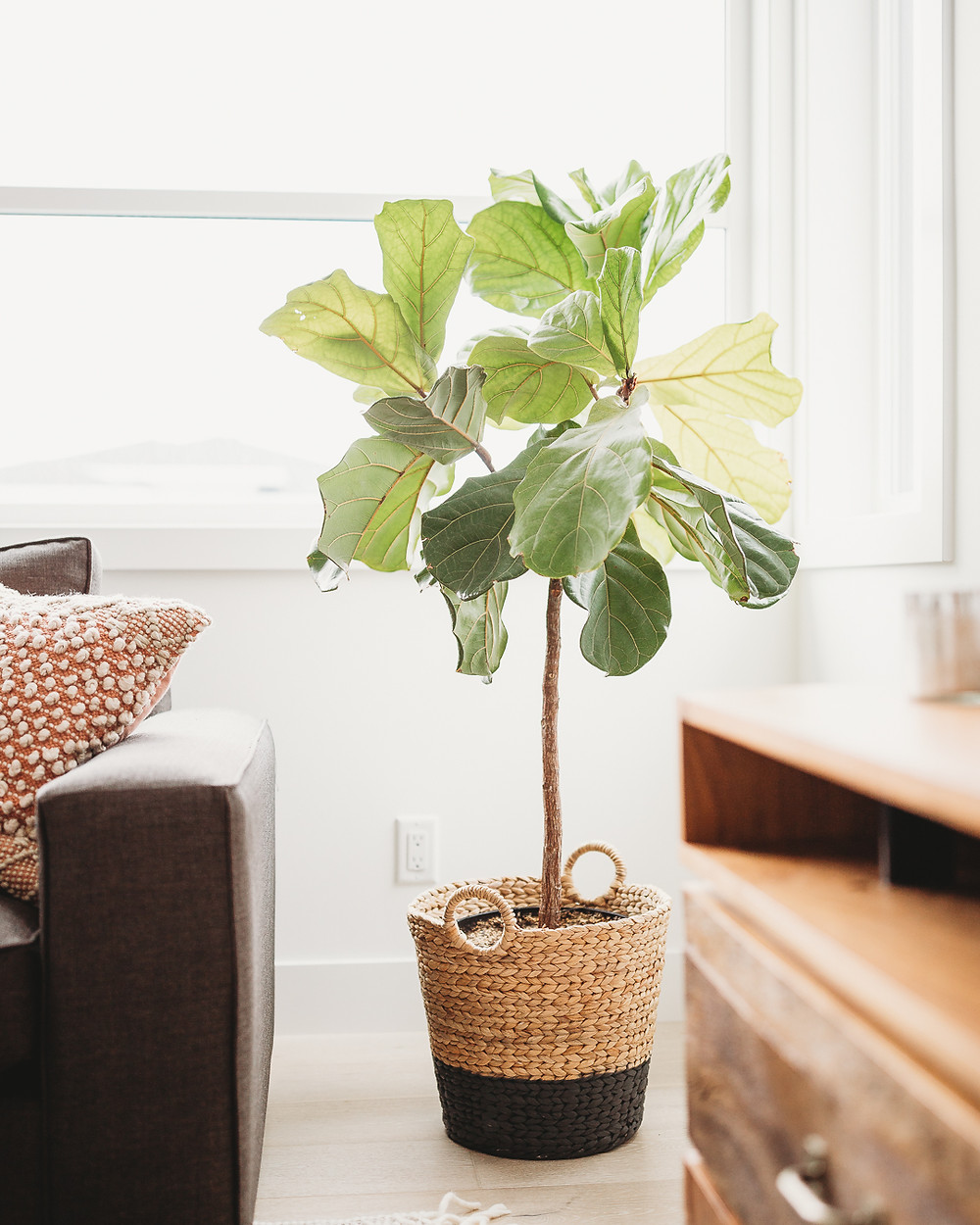 Natural light fiddle leaf fig in woven basket with black accent wood console and grey sofa