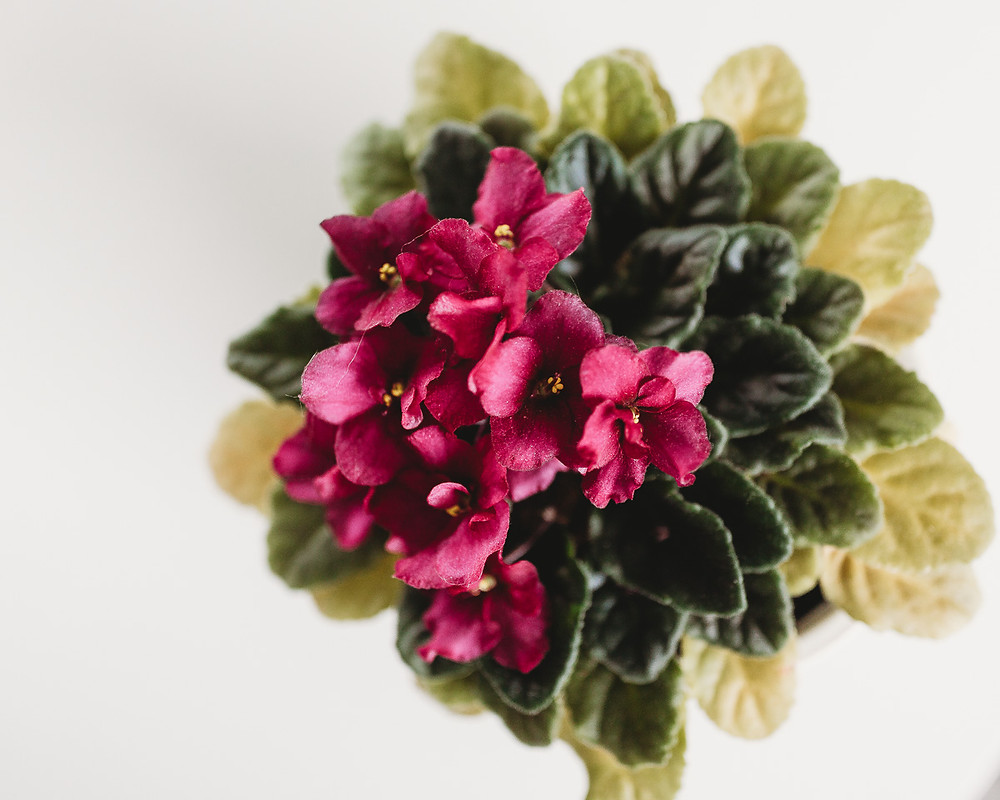 An African violet plant in full bloom.