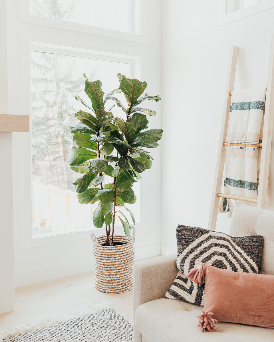 A large fiddle leaf fig plant beside a window in a living room.