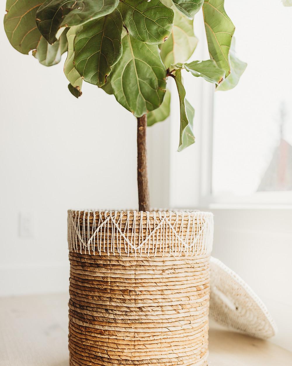 Fiddle leaf fig plant in woven basket on wood floor white walls natural light