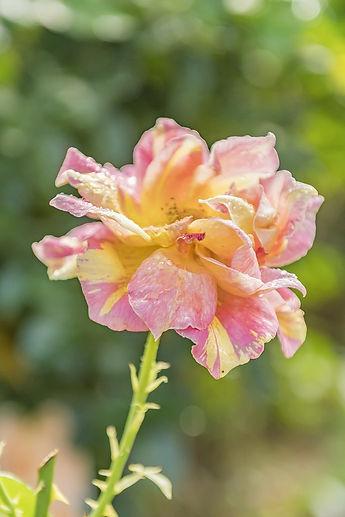 flower-3307900_960_720[1].jpg