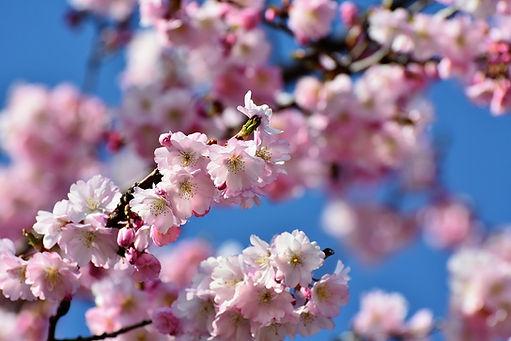 cherry-blossom-3301304_960_720[1].jpg