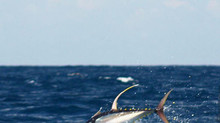 Yellowfin prices expected to rise in 2017 on IOTC-requested catch reduction