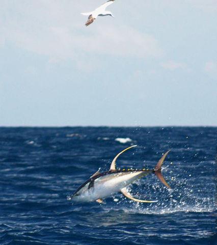 wild yellowfin
