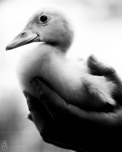 Baby Muscovy
