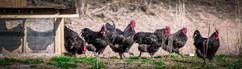 The Bachlor Flock