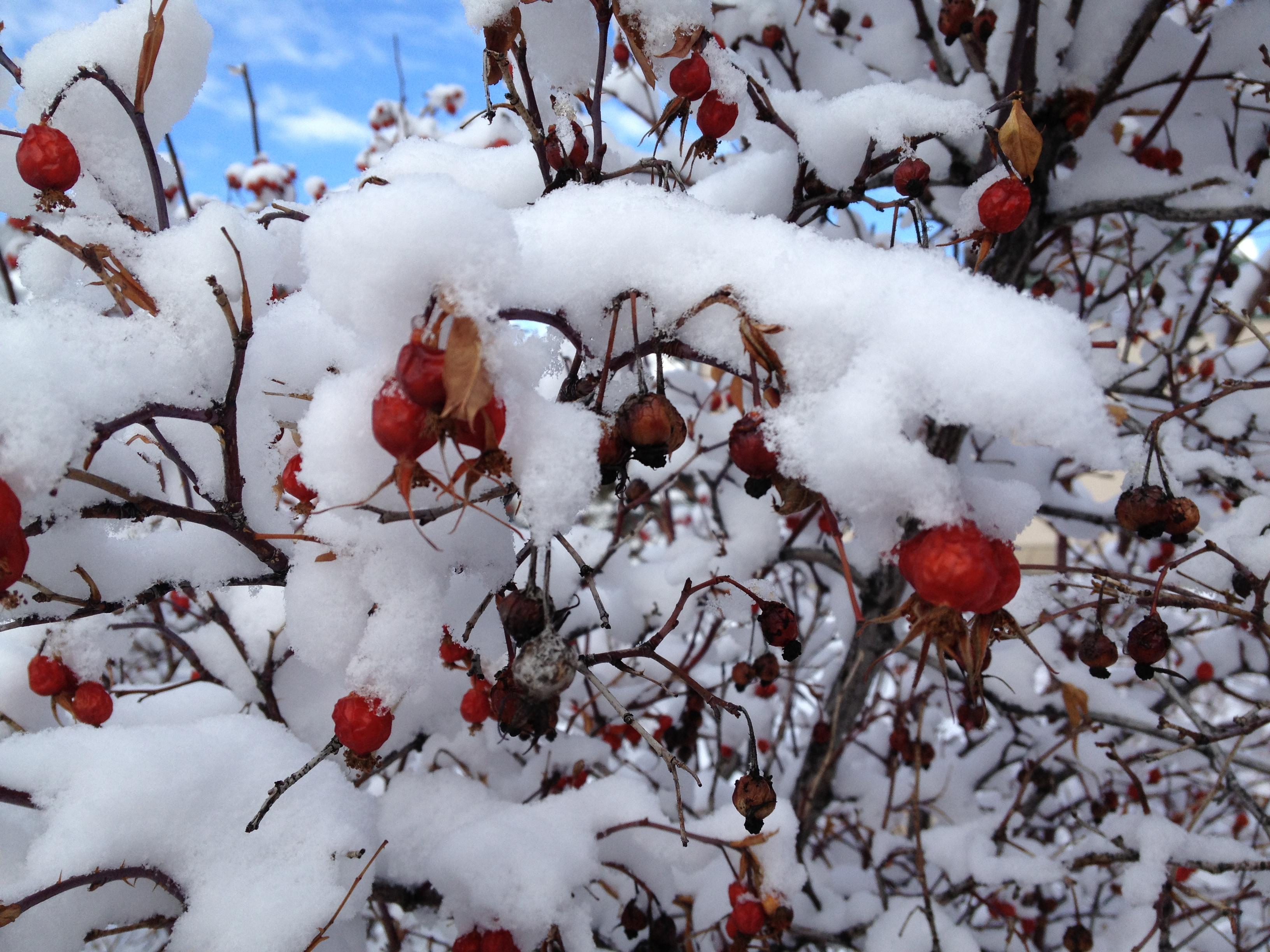 Winter Rose Hips