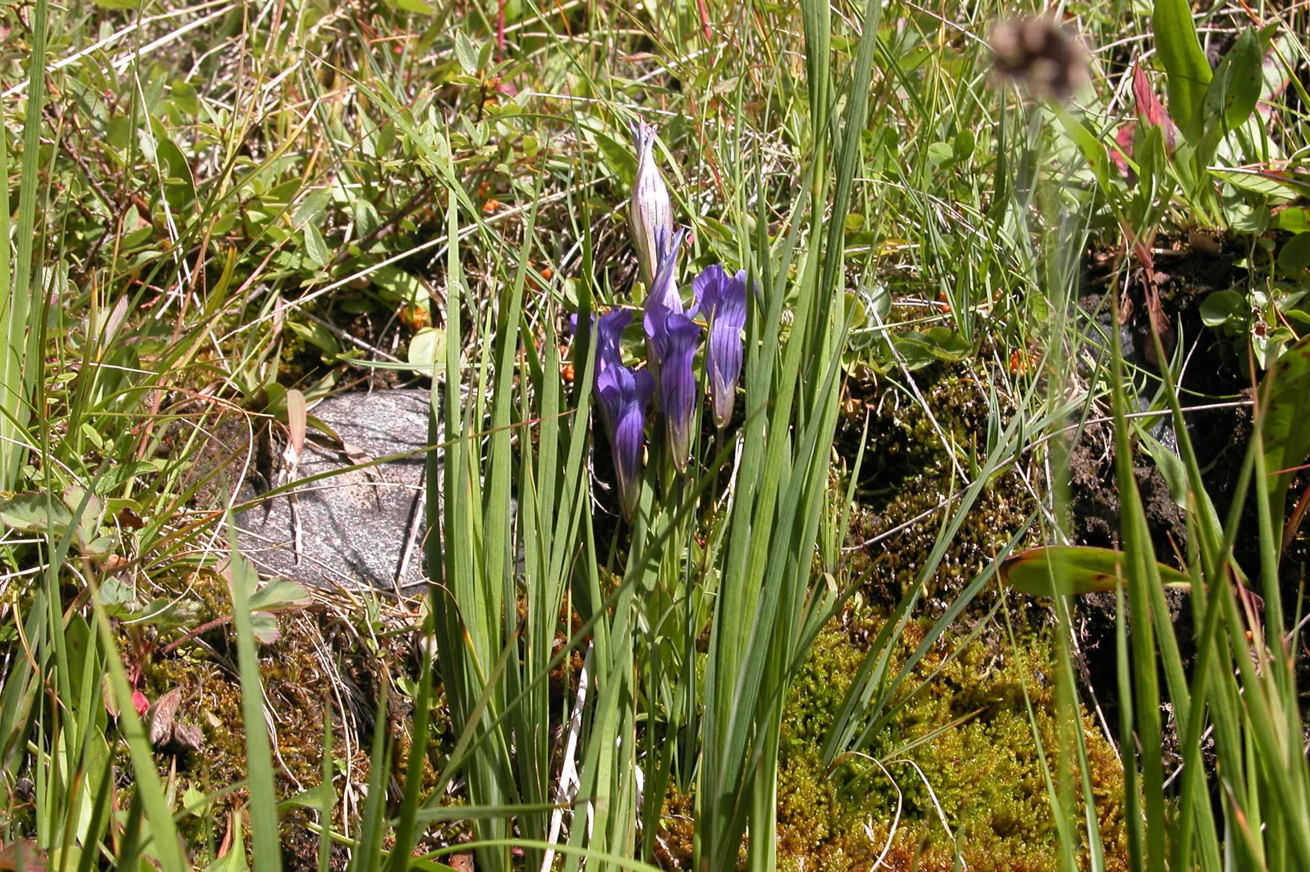 Mountain gentian