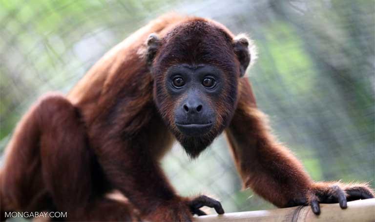 Um bugio-vermelho. O desmatamento e as mudanças climáticas não afetam somente a humanidade, mas têm um efeito enorme sobre a vida selvagem em toda a Amazônia e ao redor do mundo. Imagem de Rhett A. Butler/Mongabay