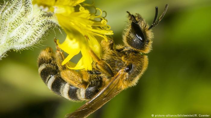 As abelhas ajudam a polinizar 90% das principais culturas agrícolas do mundo