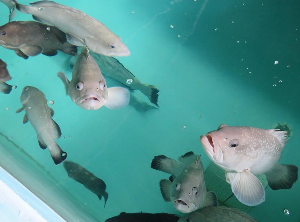 Peixeis de espécies em extinção são reproduzidos em Ubatuba (Foto: Divulgação/Instituto de Pesca)