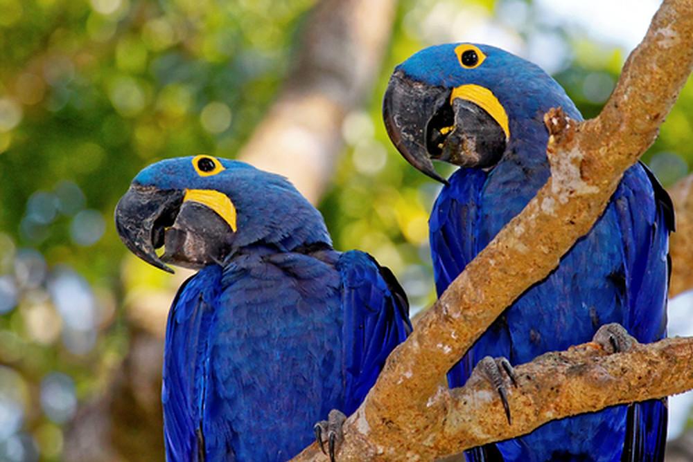 Arara-azul - Foto: Divulgação